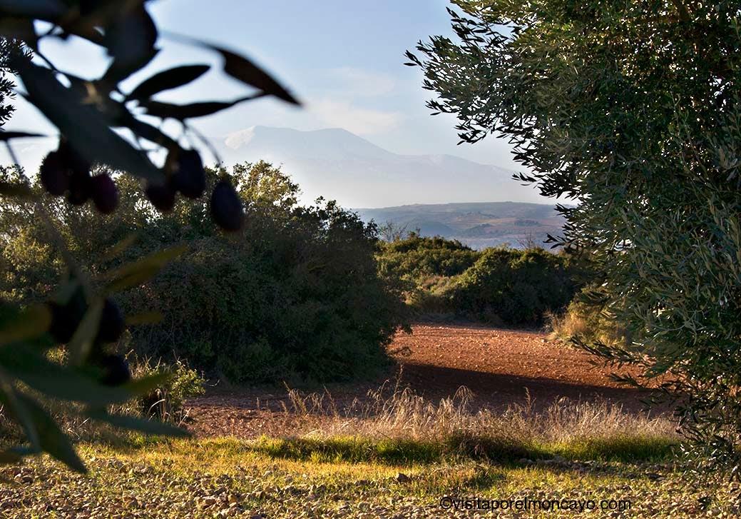 olivos oliva aceituna sierra del moncayo