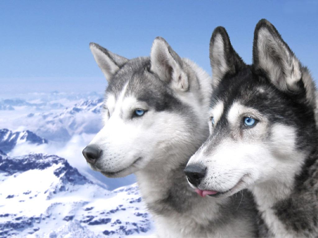 http://4.bp.blogspot.com/-d9VdKFg7bzw/TdEILo_pWqI/AAAAAAAAAUU/jASOXjH86BU/s1600/husky-wolfs.jpg
