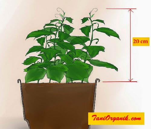 Menjaga benih sampai tumbuh sekitar 20 cm