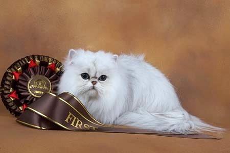 kucing kontes