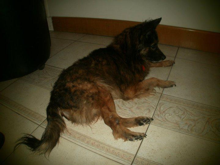 Adopt ndonos pappo bonito perro mestizo de tama o for Puertas perros medianos