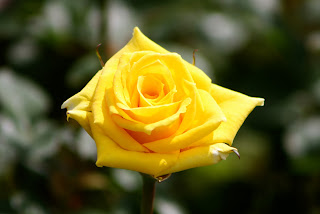 grandma yellow rose