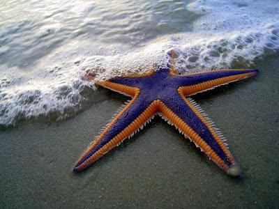 Foto de Estrella de mar en la playa