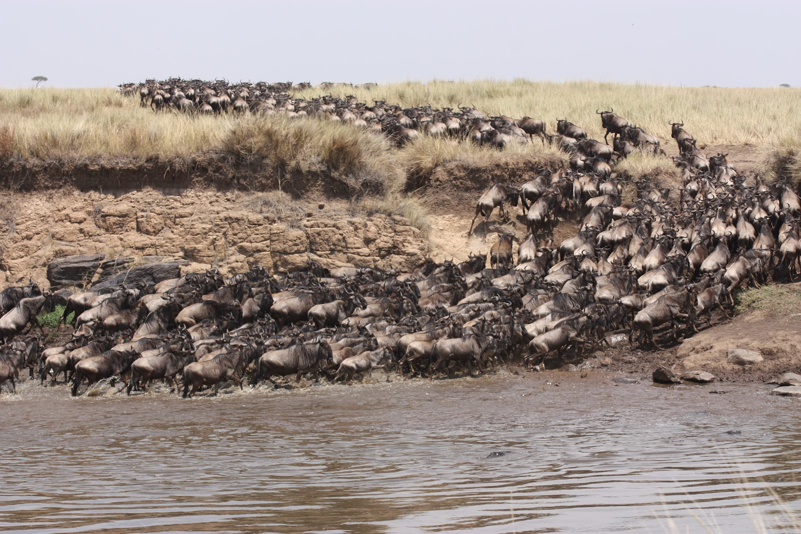 Witness the annual wildebeest migration at the Maasai Mara.