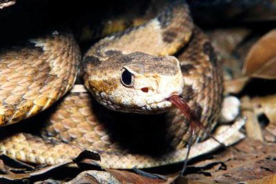 Cobra Python ataca e mata duas crianças no Canadá.