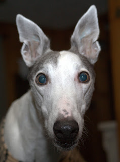 Blue greyhound-who me?