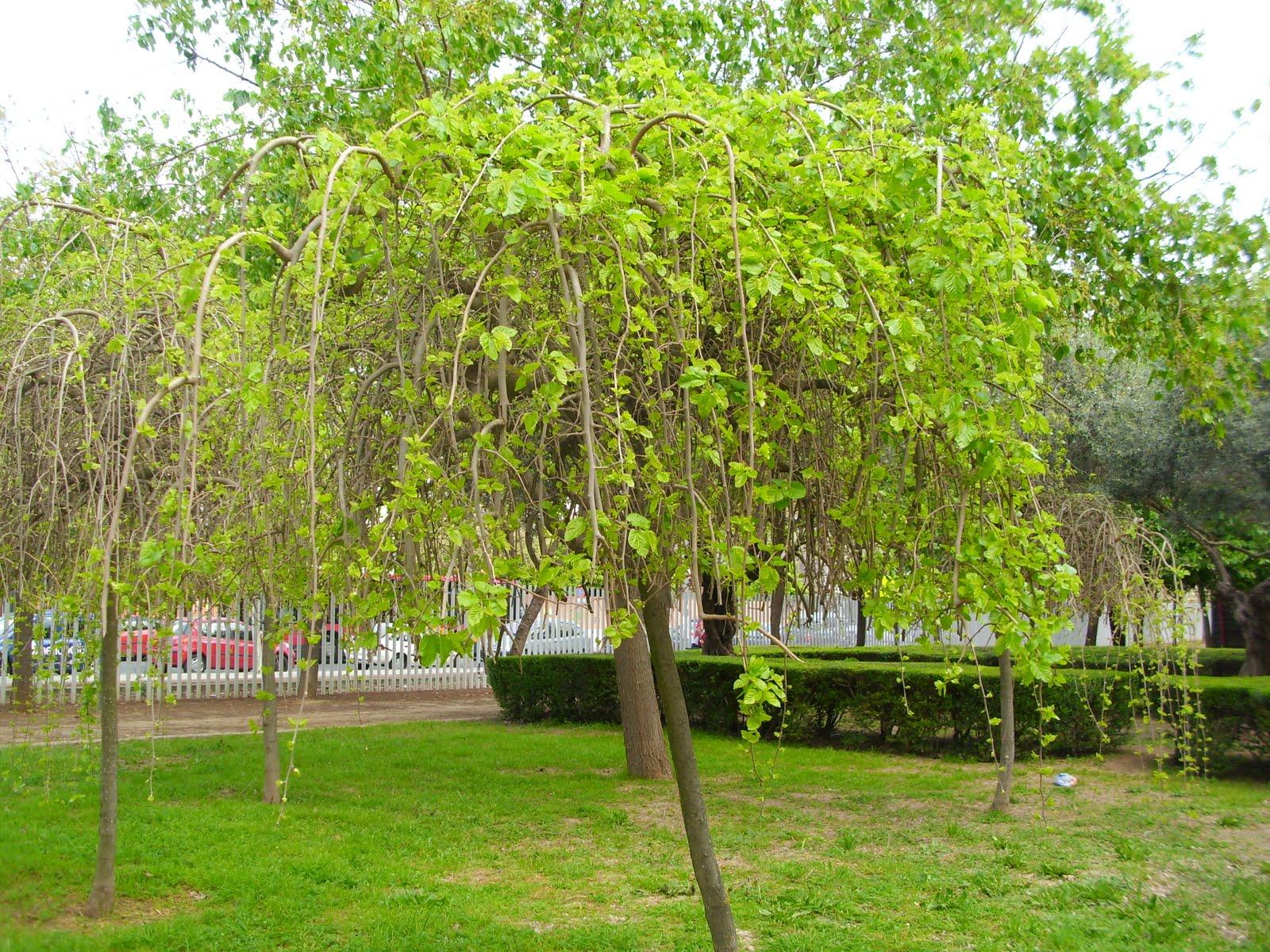 Naturaleza verde del legolas arboles de sombra for Arboles jardin sombra