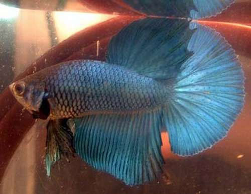 Delta Tail Betta Fish An Indepth Review to B...