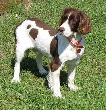 Such Good Dogs: Breed of the Month--English Springer Spaniel