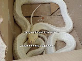 ular kobra langka berwarna putih ditemukan di majalengka indonesia