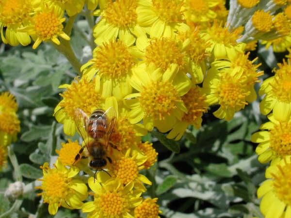 Piante e fiori giugno 2011 for Potatura margherite