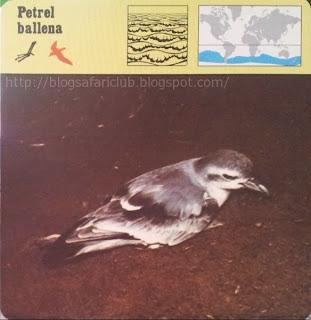 Blog Safari Club, el Petrel ballena, un pajarillo que vive en altamar