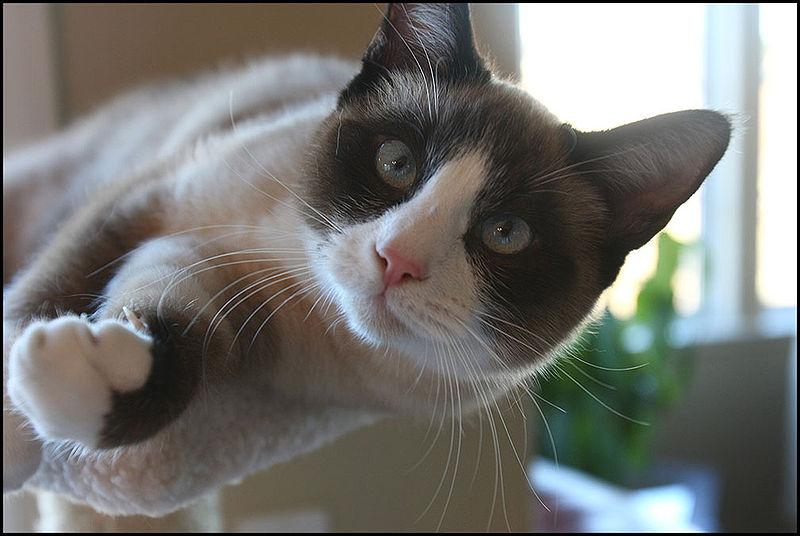 Snowshoe Cat Fun Animals Wiki Videos Pictures Stories