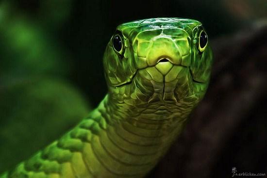 Go Back > Gallery For > Snake Eyes Animal