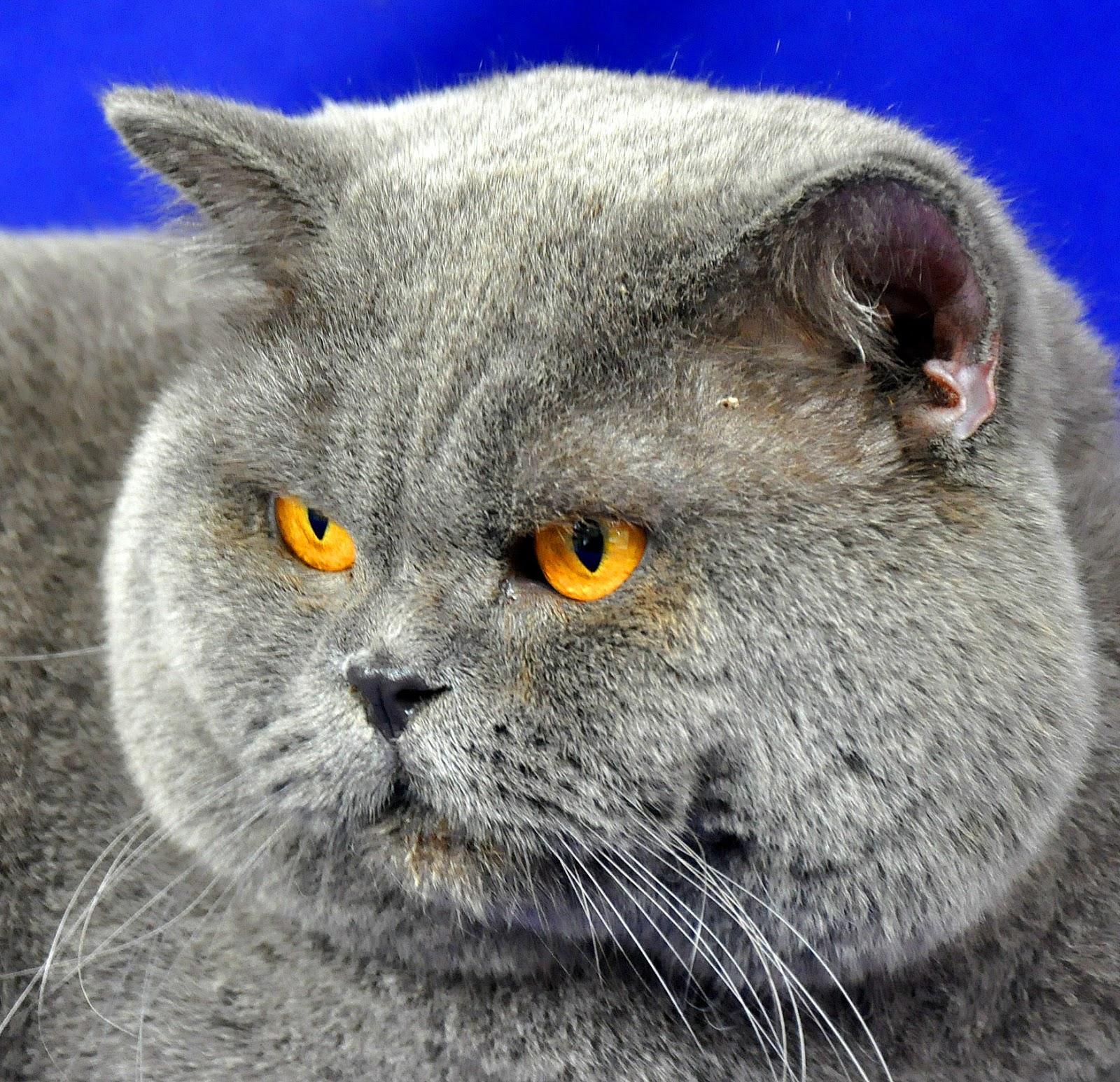 Aneka Kucing Ras Yang Paling Banyak Disukai Info Kucing