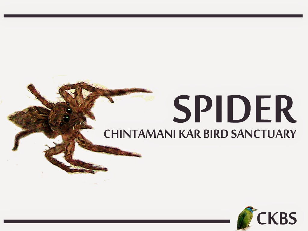 Spiders of Chintamani Kar Bird Sanctuary Ckbs spider