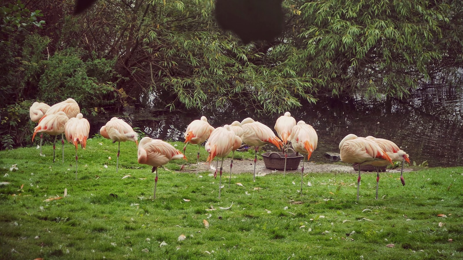 flamingos at harewood house bird garden