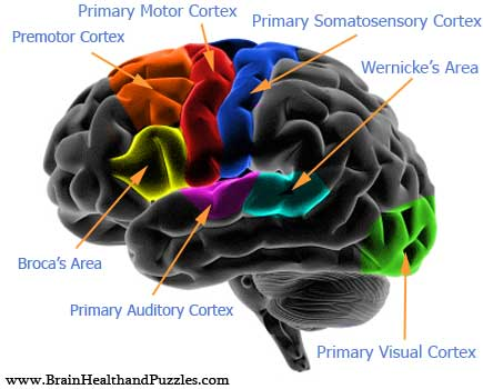 Brain Diagram And Functions3
