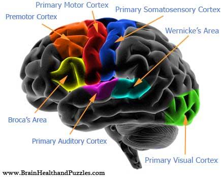 Brain jack image brain diagram and functions brain diagram and functions3 ccuart Gallery
