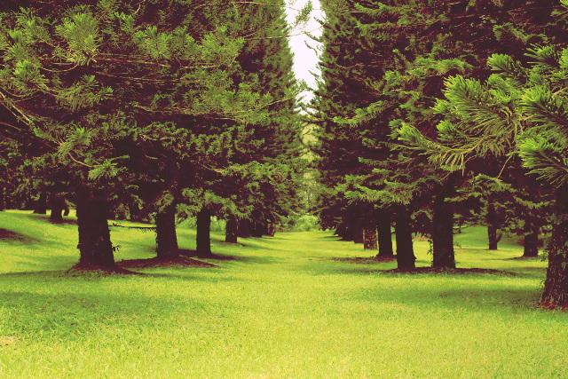 Pine Trees, Polomolok