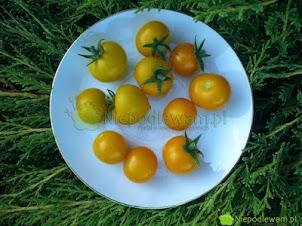 Miejskie sadzenie pomidorów – tania ziemia na balkon