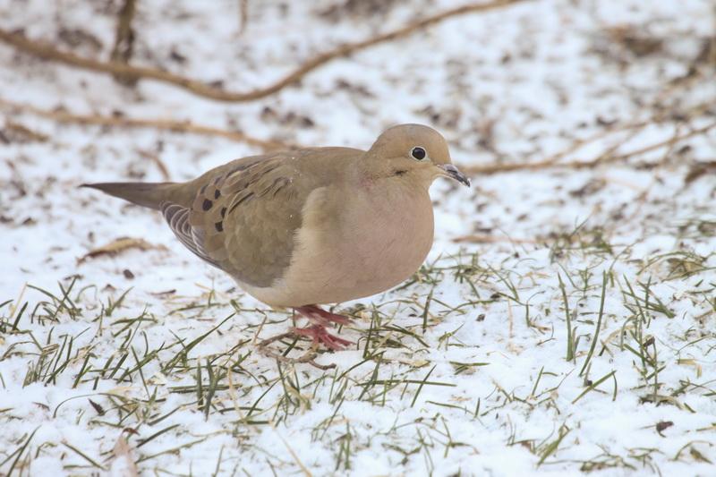 ¿Cuánto tiempo dura la vida de una paloma de luto? | Sciencing