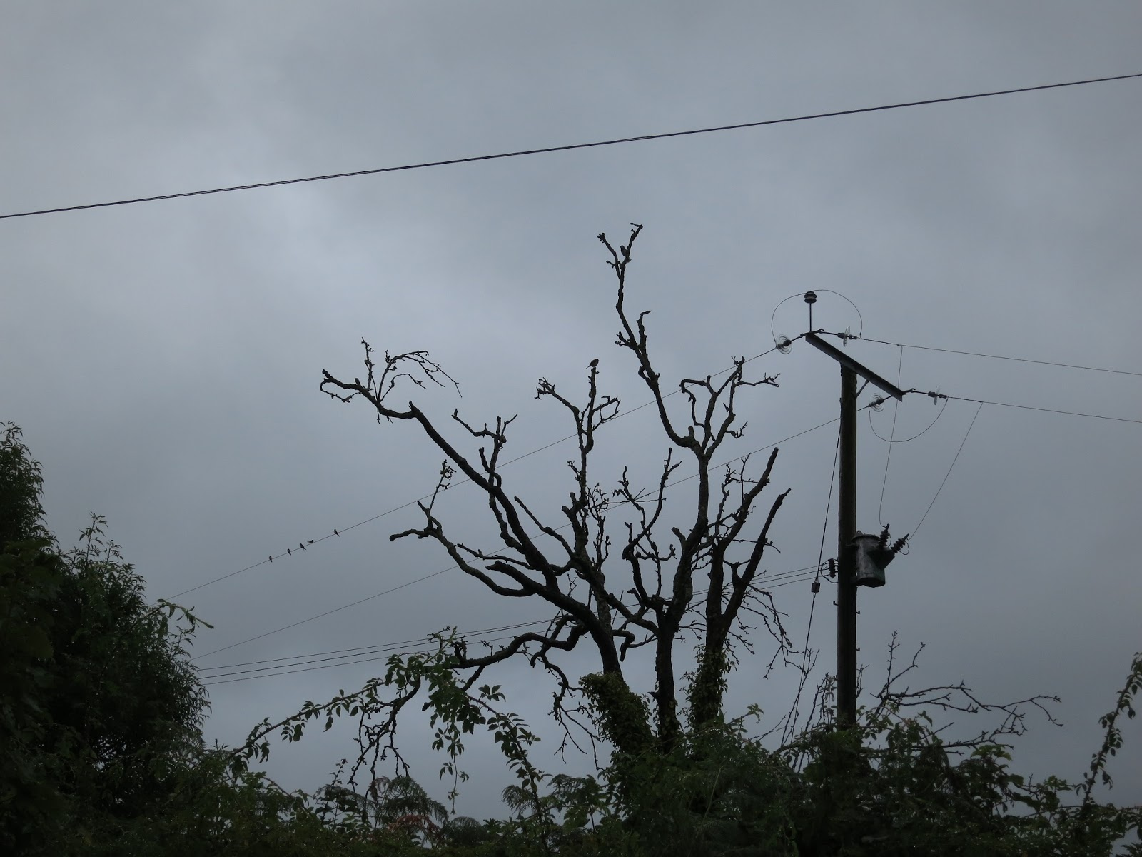Silhouette of dead tree, telegraph pole and swifts sitting on a wire