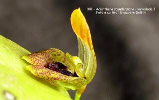 Acianthera saundersiana - variedade 3  do blogdabeteorquideas
