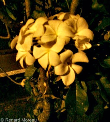 White Flowers At Night Photographed By Renard Moreau
