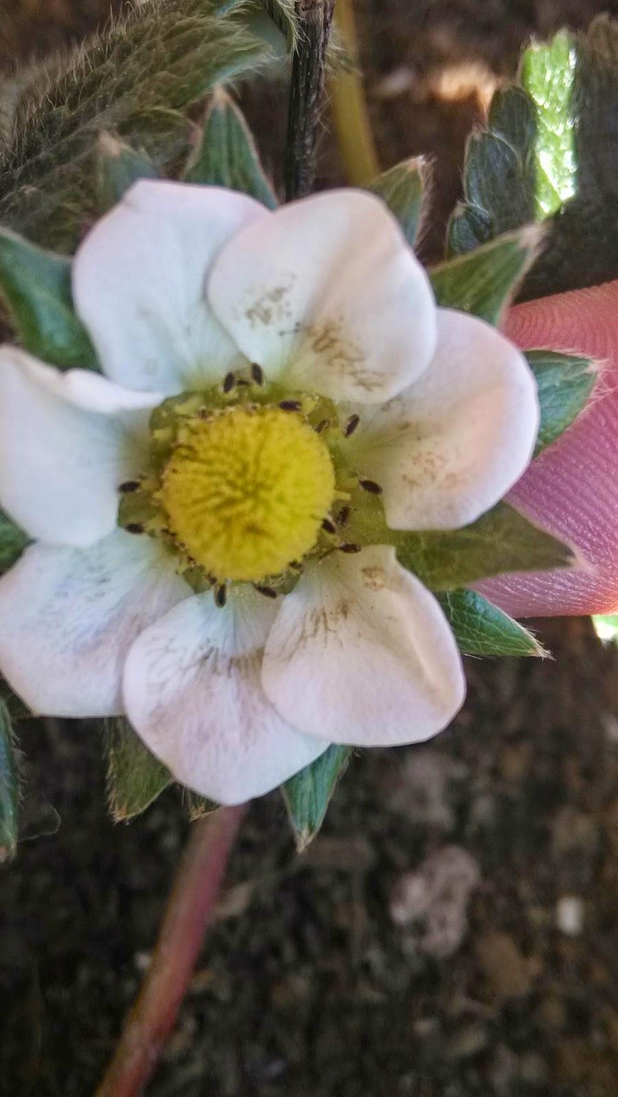 flor maceta balcon fresa strawberry ponizacion como casa