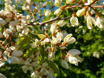 Robinia psuedoacacia near Augusta Bagiennorum