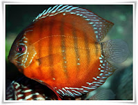 Discus Animal Pictures