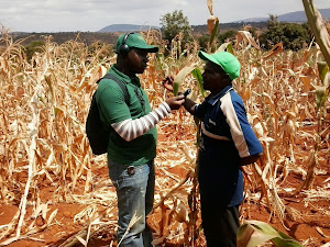 Farming drought in Kenya 2013