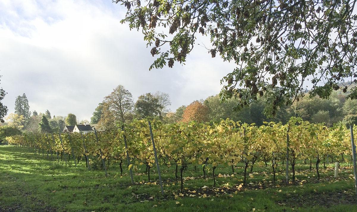 A field of grape vines near Shoreham. 2 November 2013.