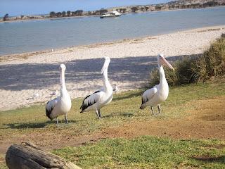 Pelicans in Kalbarri, Western Australia - own image
