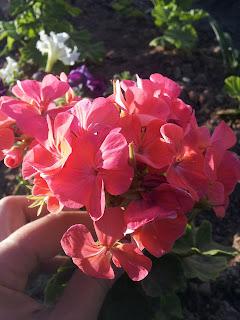 Летом цветут и радуют на даче