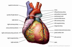 Standard note structure of human heart and blood circulation external structure the human heart is four chambered structure with two auricle and two ventriclee two upper chamber are auricle and lower are ccuart Gallery