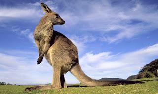 kangur na tle nieba