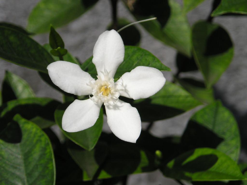 Sampaguita Flower