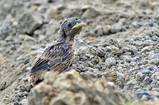 burung decu