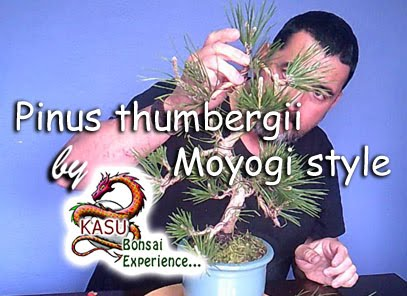 Pinus thumbergii