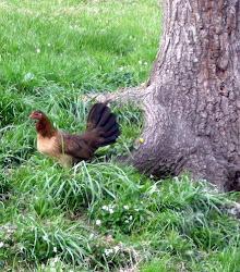 High Noon Hatch dark phase hen