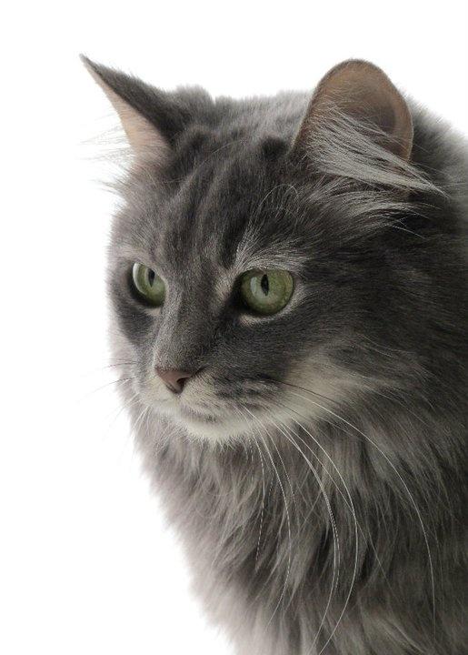 Interesting facts about Turkish Angora cats