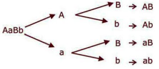 Genetika persilangan biologykipedia sehingga diperoleh 4 macam gamet yaitu ab ab ab ab ccuart Choice Image