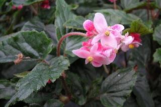 Jardineria, Catalogo de Plantas: Begonia Metallica