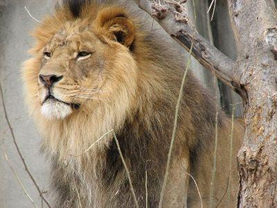 foto singa sebagai ilustrasi