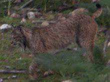Iberian Lynx, Spain Feb 2011