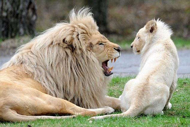 Celebrates a bumper crop of rare white lion and tiger babies photos