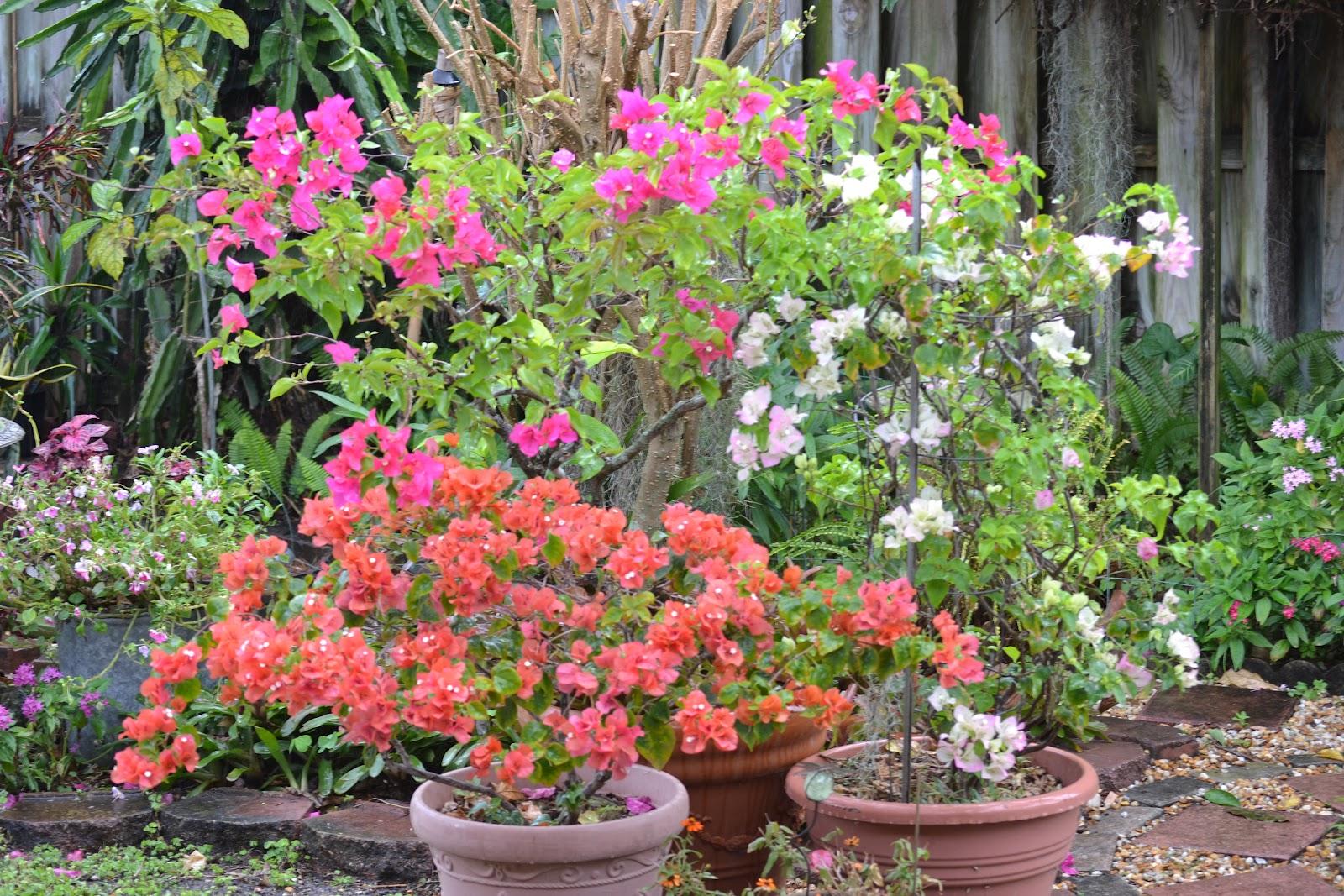 DragonFly Garden: Bouganvillea plants belong in containers