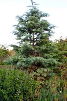 'Concolor' fir